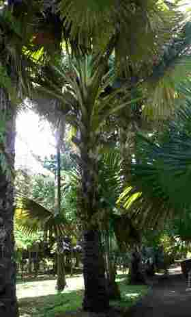 Alley of talipot palms at the SSR botanical garden