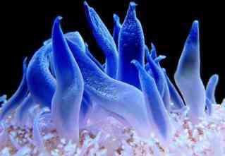 Transparent sea anemones