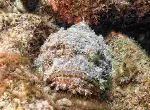 Stonefish in Mauritius