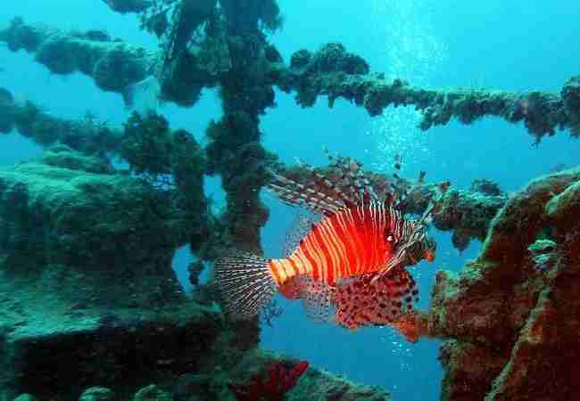 artificial reef with lion fish