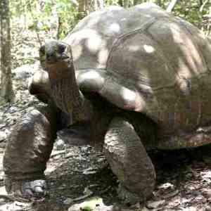 Ile aux Aigrettes tortoise 300 link