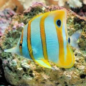 snorkeling blue fish link 300