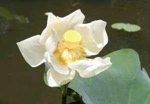 lotus opening up