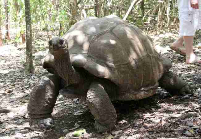 Mauritius giant tortoise