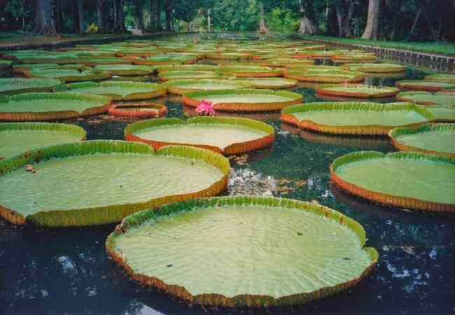 giant waterlilies at the sir seewoosagur  botanical gardens