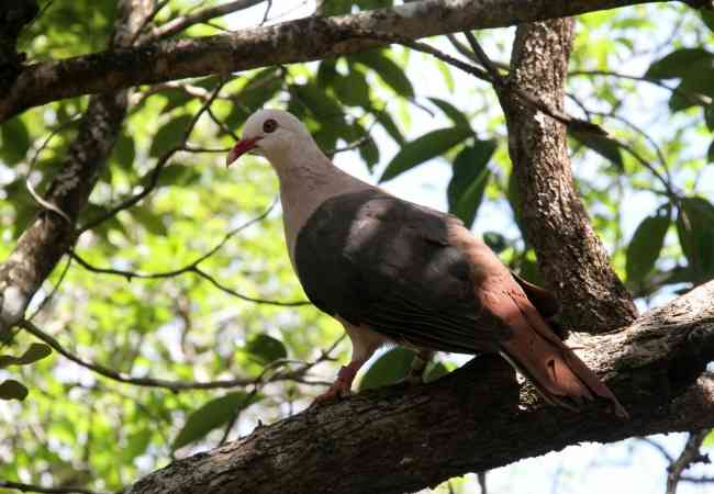 Mauritius pink pigeon
