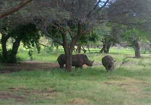 rhinos at Casela World of Adventure